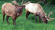 Bull elk in spring are shedding their winter coats, and their antlers are covered in velvet