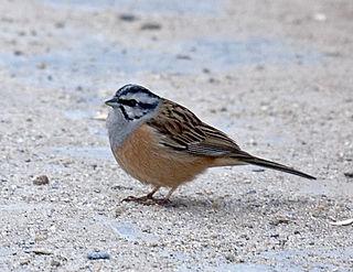 Rock bunting species of bird