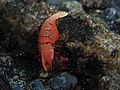 Emperor shrimp (Periclimenes imperator) (14224607717).jpg