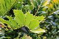 Encephalartos ferox-IMG 9676.JPG