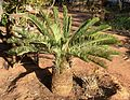 Encephalartos friderici-guilielmi, in tuin, Waterberg.jpg