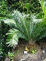 Encephalartos laurentianus furnas 2015.jpg