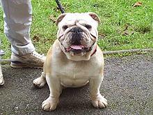 Anglický buldok – Wikipedie 36e04c67db
