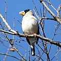 Eophona personata (on tree).jpg