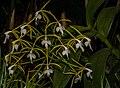 Epidendrum lacustre (33545010182).jpg