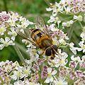 Epistrophe grossulariae. (probably) - Flickr - gailhampshire.jpg