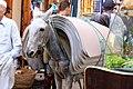 Equus asinus × Equus caballus - 4.jpg