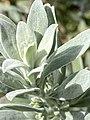 Eremophila glabra foliage.jpg