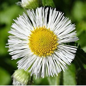 Erigeron annuus flower
