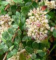 Eriogonum parvifolium 3.jpg