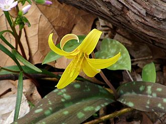 Heron Rookery - Yellow trout lily in bloom