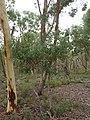 Eucalyptus polyanthemos 4.jpg