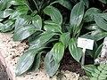 Eucharis amazonica - Botanischer Garten Freiburg - DSC06300.jpg