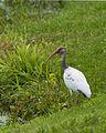 Eudocimus albus -Brazos Bend State Park, Fort Bend County, Texas, USA -juvenile-8.jpg