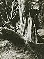 Eugène Atget, Pine Tree Trunks, Trianon - Getty Museum.jpg