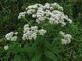 Eupatorium perfoliatum SCA-04381.jpg