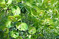 Euphorbia Adelaide.jpg