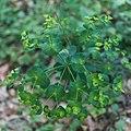 Euphorbia amygdaloides-Euphorbe des bois-Inflorescence-20180516.jpg