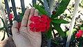 Euphorbia milii in Jardín Botánico Canario Viera y Clavijo.jpg