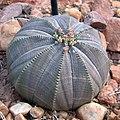 Euphorbia obesa (38235247826).jpg