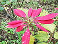 Euphorbia pulcherrima-yercaud-salem-India.JPG