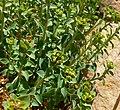 Euphorbia schizoloba 2.jpg