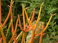 Euphorbia tirucalli 'Sticks on Fire' Closeup 3264px.jpg