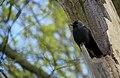 Eurasian Jackdaw (Corvus monedula), Parc de Woluwé, Brussels (26453901370).jpg