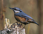 Eurasian Nuthatch (Sitta europaea) -modified.jpg
