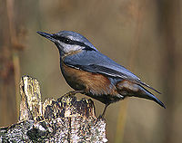 Eurasian Nuthatch (Sitta europaea) -modified