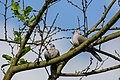 Eurasian collared dove (Streptopelia decaocto) 38.jpg