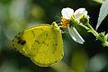 Eurema blanda arsakia 20121020.jpg
