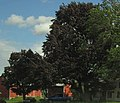 European Beech (Fagus sylvatica) purpurea Copper Beech and Crimson King Norway Maple.jpg
