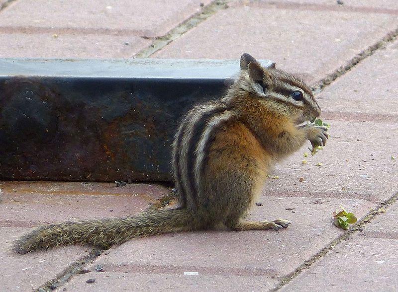 File:Eutamias minimus. Least Chipmunk - Flickr - gailhampshire.jpg