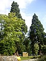 Exotic conifers by Banchory Academy - geograph.org.uk - 1495463.jpg