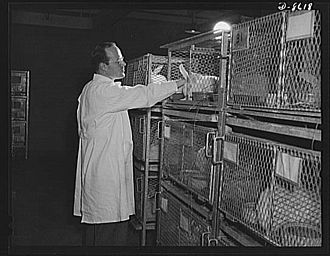 Domestic rabbit - Rabbits kept in cages for scientific experimentation