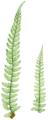 FBI-13-A Polystichum angulare subtripinnatum.png