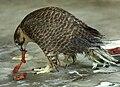 Falco pelegrinoides captive.jpg