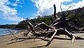 Fallen Baobab at Salizey Beach (Mayotte) (30578354034).jpg