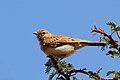 Fawn-coloured lark (Calendulauda africanoides).jpg