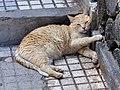 Felis silvestris qtl1.jpg