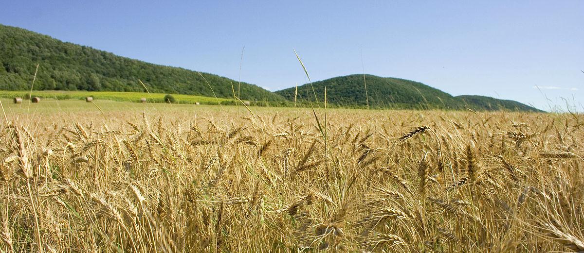 Felsoetold Wheat field image from Wikimedia Commons
