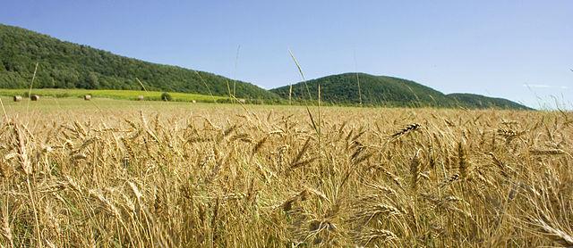 Felsoetold Wheat field, Hungary