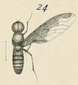 Female Brachyanax aterrimus Matsumura 1916.png