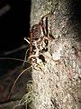 Female Cyphoderris buckelli 02.jpg