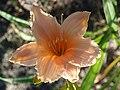 Fenceline Daylilies.jpg