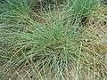 Festuca filiformis plant (01).jpg
