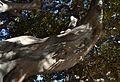 Ficus del Parterre de València, branca.JPG