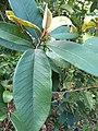 Ficus drupacea, Mysore Fig, Brown woolly fig, ചെലാ Chela 4.jpg