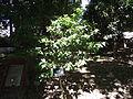 Ficus microcarpa 榕树 (天問) 002.jpg